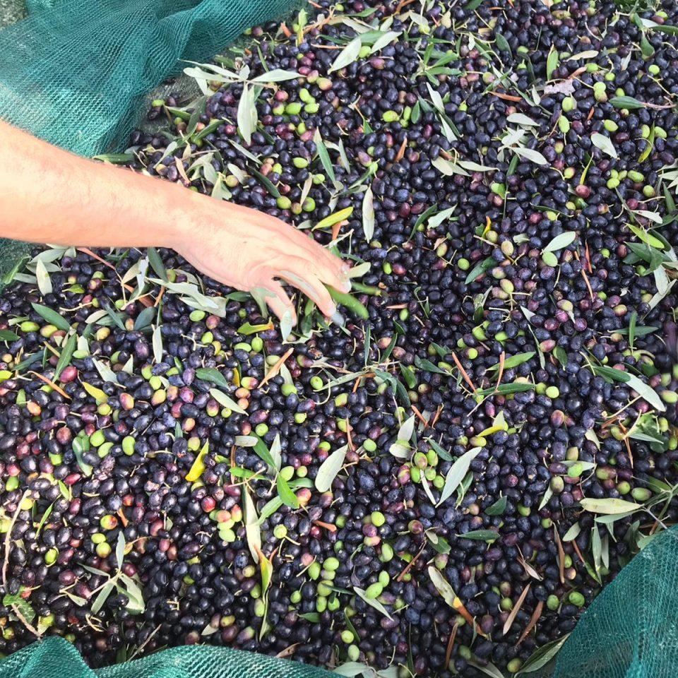 raccolta olive podere l'infinito